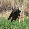 "A coyotes intent stare in morning light, seen at Ridgefield National Wildlife Refuge  <div class=""ss-paypal-button""><br><form target=""paypal"" action=""https://www.paypal.com/cgi-bin/webscr"" method=""post"" ><input type=""hidden"" name=""cmd"" value=""_cart""><input type=""hidden"" name=""business"" value=""947PXEXBHP9H8""><input type=""hidden"" name=""lc"" value=""US""><input type=""hidden"" name=""item_name"" value=""A coyotes intent stare in morning light, seen at Ridgefield National Wildlife Refuge""><input type=""hidden"" name=""item_number"" value=""http:&#x2F;&#x2F;www.werthwildphotography.com&#x2F;Animals&#x2F;Mammals&#x2F;Foxes-and-Coyotes&#x2F;i-NZgCgjp""><input type=""hidden"" name=""button_subtype"" value=""products""><input type=""hidden"" name=""no_note"" value=""0""><input type=""hidden"" name=""cn"" value=""Add special instructions to the seller:""><input type=""hidden"" name=""no_shipping"" value=""2""><input type=""hidden"" name=""currency_code"" value=""USD""><input type=""hidden"" name=""shipping"" value=""4.00""><input type=""hidden"" name=""add"" value=""1""><input type=""hidden"" name=""bn"" value=""PP-ShopCartBF:btn_cart_LG.gif:NonHosted""><table class=""printSize""><tr><td><input type=""hidden"" name=""on0"" value=""Print size"">Print size</td></tr><tr><td><select name=""os0""> <option value=""5 x 7"">5 x 7 $14.00 USD</option> <option value=""8 x 10"">8 x 10 $20.00 USD</option> <option value=""8 x 12"">8 x 12 $20.00 USD</option> <option value=""11 x 14"">11 x 14 $28.00 USD</option> <option value=""12 x 18"">12 x 18 $35.00 USD</option> <option value=""16 x 20"">16 x 20 $50.00 USD</option></select> </td></tr></table><input type=""hidden"" name=""currency_code"" value=""USD""><input type=""hidden"" name=""option_select0"" value=""5 x 7""><input type=""hidden"" name=""option_amount0"" value=""14.00""><input type=""hidden"" name=""option_select1"" value=""8 x 10""><input type=""hidden"" name=""option_amount1"" value=""20.00""><input type=""hidden"" name=""option_select2"" value=""8 x 12""><input type=""hidden"" name=""option_amount2"" value=""20.00""><input type=""hidden"" name=""option_select3"" value=""11 x 14""><input type=""hidden"" name=""option_amount3"" value=""28.00""><input type=""hidden"" name=""option_select4"" value=""12 x 18""><input type=""hidden"" name=""option_amount4"" value=""35.00""><input type=""hidden"" name=""option_select5"" value=""16 x 20""><input type=""hidden"" name=""option_amount5"" value=""50.00""><input type=""hidden"" name=""option_index"" value=""0""><input type=""image"" src=""https://www.paypalobjects.com/en_US/i/btn/btn_cart_LG.gif"" border=""0"" name=""submit"" alt=""PayPal - The safer, easier way to pay online!"" class=""btnPayPal""><img alt="""" border=""0"" src=""https://www.paypalobjects.com/en_US/i/scr/pixel.gif"" width=""1"" height=""1""></form></div><div class=""ss-paypal-button-end"" style=""display:none""></div>"