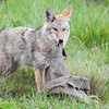 "Kingdom: Animalia Phylum: Chordata Class: Mammalia Order: Carnivora Family: Canidae Genus: Canis Species: C. latrans  <div class=""ss-paypal-button""><br><form target=""paypal"" action=""https://www.paypal.com/cgi-bin/webscr"" method=""post"" ><input type=""hidden"" name=""cmd"" value=""_cart""><input type=""hidden"" name=""business"" value=""947PXEXBHP9H8""><input type=""hidden"" name=""lc"" value=""US""><input type=""hidden"" name=""item_name"" value=""Kingdom: Animalia Phylum: Chordata Class: Mammalia Order: Carnivora Family: Canidae Genus: Canis Species: C. latrans""><input type=""hidden"" name=""item_number"" value=""http:&#x2F;&#x2F;www.werthwildphotography.com&#x2F;Animals&#x2F;Mammals&#x2F;Foxes-and-Coyotes&#x2F;i-PNXDWPG""><input type=""hidden"" name=""button_subtype"" value=""products""><input type=""hidden"" name=""no_note"" value=""0""><input type=""hidden"" name=""cn"" value=""Add special instructions to the seller:""><input type=""hidden"" name=""no_shipping"" value=""2""><input type=""hidden"" name=""currency_code"" value=""USD""><input type=""hidden"" name=""shipping"" value=""4.00""><input type=""hidden"" name=""add"" value=""1""><input type=""hidden"" name=""bn"" value=""PP-ShopCartBF:btn_cart_LG.gif:NonHosted""><table class=""printSize""><tr><td><input type=""hidden"" name=""on0"" value=""Print size"">Print size</td></tr><tr><td><select name=""os0""> <option value=""5 x 7"">5 x 7 $14.00 USD</option> <option value=""8 x 10"">8 x 10 $20.00 USD</option> <option value=""8 x 12"">8 x 12 $20.00 USD</option> <option value=""11 x 14"">11 x 14 $28.00 USD</option> <option value=""12 x 18"">12 x 18 $35.00 USD</option> <option value=""16 x 20"">16 x 20 $50.00 USD</option></select> </td></tr></table><input type=""hidden"" name=""currency_code"" value=""USD""><input type=""hidden"" name=""option_select0"" value=""5 x 7""><input type=""hidden"" name=""option_amount0"" value=""14.00""><input type=""hidden"" name=""option_select1"" value=""8 x 10""><input type=""hidden"" name=""option_amount1"" value=""20.00""><input type=""hidden"" name=""option_select2"" value=""8 x 12""><input type=""hidden"" name=""option_amount2"" value=""20.00""><input type=""hidden"" name=""option_select3"" value=""11 x 14""><input type=""hidden"" name=""option_amount3"" value=""28.00""><input type=""hidden"" name=""option_select4"" value=""12 x 18""><input type=""hidden"" name=""option_amount4"" value=""35.00""><input type=""hidden"" name=""option_select5"" value=""16 x 20""><input type=""hidden"" name=""option_amount5"" value=""50.00""><input type=""hidden"" name=""option_index"" value=""0""><input type=""image"" src=""https://www.paypalobjects.com/en_US/i/btn/btn_cart_LG.gif"" border=""0"" name=""submit"" alt=""PayPal - The safer, easier way to pay online!"" class=""btnPayPal""><img alt="""" border=""0"" src=""https://www.paypalobjects.com/en_US/i/scr/pixel.gif"" width=""1"" height=""1""></form></div><div class=""ss-paypal-button-end"" style=""display:none""></div>"
