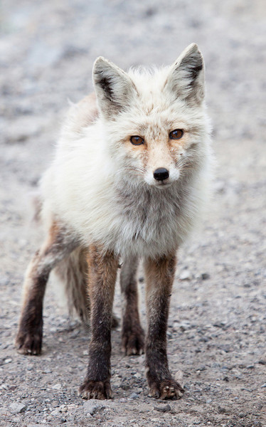 "Red fox seen in Mt. Rainier National Park  <div class=""ss-paypal-button""><br><form target=""paypal"" action=""https://www.paypal.com/cgi-bin/webscr"" method=""post"" ><input type=""hidden"" name=""cmd"" value=""_cart""><input type=""hidden"" name=""business"" value=""947PXEXBHP9H8""><input type=""hidden"" name=""lc"" value=""US""><input type=""hidden"" name=""item_name"" value=""Red fox seen in Mt. Rainier National Park""><input type=""hidden"" name=""item_number"" value=""http:&#x2F;&#x2F;www.werthwildphotography.com&#x2F;Animals&#x2F;Mammals&#x2F;Foxes-and-Coyotes&#x2F;i-ZWp3hrr""><input type=""hidden"" name=""button_subtype"" value=""products""><input type=""hidden"" name=""no_note"" value=""0""><input type=""hidden"" name=""cn"" value=""Add special instructions to the seller:""><input type=""hidden"" name=""no_shipping"" value=""2""><input type=""hidden"" name=""currency_code"" value=""USD""><input type=""hidden"" name=""shipping"" value=""4.00""><input type=""hidden"" name=""add"" value=""1""><input type=""hidden"" name=""bn"" value=""PP-ShopCartBF:btn_cart_LG.gif:NonHosted""><table class=""printSize""><tr><td><input type=""hidden"" name=""on0"" value=""Print size"">Print size</td></tr><tr><td><select name=""os0""> <option value=""5 x 7"">5 x 7 $14.00 USD</option> <option value=""8 x 10"">8 x 10 $20.00 USD</option> <option value=""8 x 12"">8 x 12 $20.00 USD</option> <option value=""11 x 14"">11 x 14 $28.00 USD</option> <option value=""12 x 18"">12 x 18 $35.00 USD</option> <option value=""16 x 20"">16 x 20 $50.00 USD</option></select> </td></tr></table><input type=""hidden"" name=""currency_code"" value=""USD""><input type=""hidden"" name=""option_select0"" value=""5 x 7""><input type=""hidden"" name=""option_amount0"" value=""14.00""><input type=""hidden"" name=""option_select1"" value=""8 x 10""><input type=""hidden"" name=""option_amount1"" value=""20.00""><input type=""hidden"" name=""option_select2"" value=""8 x 12""><input type=""hidden"" name=""option_amount2"" value=""20.00""><input type=""hidden"" name=""option_select3"" value=""11 x 14""><input type=""hidden"" name=""option_amount3"" value=""28.00""><input type=""hidden"" name=""option_select4"" value=""12 x 18""><input type=""hidden"" name=""option_amount4"" value=""35.00""><input type=""hidden"" name=""option_select5"" value=""16 x 20""><input type=""hidden"" name=""option_amount5"" value=""50.00""><input type=""hidden"" name=""option_index"" value=""0""><input type=""image"" src=""https://www.paypalobjects.com/en_US/i/btn/btn_cart_LG.gif"" border=""0"" name=""submit"" alt=""PayPal - The safer, easier way to pay online!"" class=""btnPayPal""><img alt="""" border=""0"" src=""https://www.paypalobjects.com/en_US/i/scr/pixel.gif"" width=""1"" height=""1""></form></div><div class=""ss-paypal-button-end"" style=""display:none""></div>"