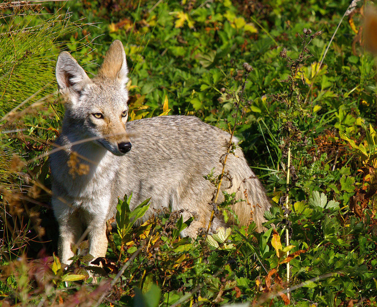 """A young coyote seen in a field in  Woodland, WA.  <div class=""""ss-paypal-button""""><br><form target=""""paypal"""" action=""""https://www.paypal.com/cgi-bin/webscr"""" method=""""post"""" ><input type=""""hidden"""" name=""""cmd"""" value=""""_cart""""><input type=""""hidden"""" name=""""business"""" value=""""947PXEXBHP9H8""""><input type=""""hidden"""" name=""""lc"""" value=""""US""""><input type=""""hidden"""" name=""""item_name"""" value=""""A young coyote seen in a field in  Woodland, WA.""""><input type=""""hidden"""" name=""""item_number"""" value=""""http:&#x2F;&#x2F;www.werthwildphotography.com&#x2F;Animals&#x2F;Mammals&#x2F;Foxes-and-Coyotes&#x2F;i-b4LWxDs""""><input type=""""hidden"""" name=""""button_subtype"""" value=""""products""""><input type=""""hidden"""" name=""""no_note"""" value=""""0""""><input type=""""hidden"""" name=""""cn"""" value=""""Add special instructions to the seller:""""><input type=""""hidden"""" name=""""no_shipping"""" value=""""2""""><input type=""""hidden"""" name=""""currency_code"""" value=""""USD""""><input type=""""hidden"""" name=""""shipping"""" value=""""4.00""""><input type=""""hidden"""" name=""""add"""" value=""""1""""><input type=""""hidden"""" name=""""bn"""" value=""""PP-ShopCartBF:btn_cart_LG.gif:NonHosted""""><table class=""""printSize""""><tr><td><input type=""""hidden"""" name=""""on0"""" value=""""Print size"""">Print size</td></tr><tr><td><select name=""""os0""""> <option value=""""5 x 7"""">5 x 7 $14.00 USD</option> <option value=""""8 x 10"""">8 x 10 $20.00 USD</option> <option value=""""8 x 12"""">8 x 12 $20.00 USD</option> <option value=""""11 x 14"""">11 x 14 $28.00 USD</option> <option value=""""12 x 18"""">12 x 18 $35.00 USD</option> <option value=""""16 x 20"""">16 x 20 $50.00 USD</option></select> </td></tr></table><input type=""""hidden"""" name=""""currency_code"""" value=""""USD""""><input type=""""hidden"""" name=""""option_select0"""" value=""""5 x 7""""><input type=""""hidden"""" name=""""option_amount0"""" value=""""14.00""""><input type=""""hidden"""" name=""""option_select1"""" value=""""8 x 10""""><input type=""""hidden"""" name=""""option_amount1"""" value=""""20.00""""><input type=""""hidden"""" name=""""option_select2"""" value=""""8 x 12""""><input type=""""hidden"""" name=""""option_amount2"""" value=""""20.00""""><input type=""""hidden"""" name=""""option_select3"""" value=""""11 x 14""""><input type=""""hidden"""" name=""""option_amount3"""" value=""""28"""