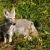 "A young coyote seen in a field in  Woodland, WA.  <div class=""ss-paypal-button""><br><form target=""paypal"" action=""https://www.paypal.com/cgi-bin/webscr"" method=""post"" ><input type=""hidden"" name=""cmd"" value=""_cart""><input type=""hidden"" name=""business"" value=""947PXEXBHP9H8""><input type=""hidden"" name=""lc"" value=""US""><input type=""hidden"" name=""item_name"" value=""A young coyote seen in a field in  Woodland, WA.""><input type=""hidden"" name=""item_number"" value=""http:&#x2F;&#x2F;www.werthwildphotography.com&#x2F;Animals&#x2F;Mammals&#x2F;Foxes-and-Coyotes&#x2F;i-b4LWxDs""><input type=""hidden"" name=""button_subtype"" value=""products""><input type=""hidden"" name=""no_note"" value=""0""><input type=""hidden"" name=""cn"" value=""Add special instructions to the seller:""><input type=""hidden"" name=""no_shipping"" value=""2""><input type=""hidden"" name=""currency_code"" value=""USD""><input type=""hidden"" name=""shipping"" value=""4.00""><input type=""hidden"" name=""add"" value=""1""><input type=""hidden"" name=""bn"" value=""PP-ShopCartBF:btn_cart_LG.gif:NonHosted""><table class=""printSize""><tr><td><input type=""hidden"" name=""on0"" value=""Print size"">Print size</td></tr><tr><td><select name=""os0""> <option value=""5 x 7"">5 x 7 $14.00 USD</option> <option value=""8 x 10"">8 x 10 $20.00 USD</option> <option value=""8 x 12"">8 x 12 $20.00 USD</option> <option value=""11 x 14"">11 x 14 $28.00 USD</option> <option value=""12 x 18"">12 x 18 $35.00 USD</option> <option value=""16 x 20"">16 x 20 $50.00 USD</option></select> </td></tr></table><input type=""hidden"" name=""currency_code"" value=""USD""><input type=""hidden"" name=""option_select0"" value=""5 x 7""><input type=""hidden"" name=""option_amount0"" value=""14.00""><input type=""hidden"" name=""option_select1"" value=""8 x 10""><input type=""hidden"" name=""option_amount1"" value=""20.00""><input type=""hidden"" name=""option_select2"" value=""8 x 12""><input type=""hidden"" name=""option_amount2"" value=""20.00""><input type=""hidden"" name=""option_select3"" value=""11 x 14""><input type=""hidden"" name=""option_amount3"" value=""28.00""><input type=""hidden"" name=""option_select4"" value=""12 x 18""><input type=""hidden"" name=""option_amount4"" value=""35.00""><input type=""hidden"" name=""option_select5"" value=""16 x 20""><input type=""hidden"" name=""option_amount5"" value=""50.00""><input type=""hidden"" name=""option_index"" value=""0""><input type=""image"" src=""https://www.paypalobjects.com/en_US/i/btn/btn_cart_LG.gif"" border=""0"" name=""submit"" alt=""PayPal - The safer, easier way to pay online!"" class=""btnPayPal""><img alt="""" border=""0"" src=""https://www.paypalobjects.com/en_US/i/scr/pixel.gif"" width=""1"" height=""1""></form></div><div class=""ss-paypal-button-end"" style=""display:none""></div>"