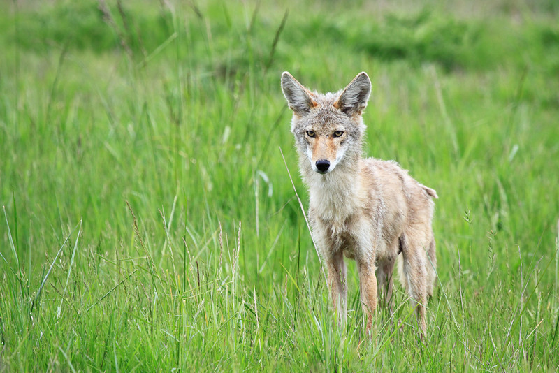 "This is a coyote that I named ""Shaggy Sally"" seen at Ridgefield National Wildlife Refuge. She had pups at the time of this shot  <div class=""ss-paypal-button""><br><form target=""paypal"" action=""https://www.paypal.com/cgi-bin/webscr"" method=""post"" ><input type=""hidden"" name=""cmd"" value=""_cart""><input type=""hidden"" name=""business"" value=""947PXEXBHP9H8""><input type=""hidden"" name=""lc"" value=""US""><input type=""hidden"" name=""item_name"" value=""This is a coyote that I named &quot;Shaggy Sally&quot; seen at Ridgefield National Wildlife Refuge. She had pups at the time of this shot""><input type=""hidden"" name=""item_number"" value=""http:&#x2F;&#x2F;www.werthwildphotography.com&#x2F;Animals&#x2F;Mammals&#x2F;Foxes-and-Coyotes&#x2F;i-pNW3hS4""><input type=""hidden"" name=""button_subtype"" value=""products""><input type=""hidden"" name=""no_note"" value=""0""><input type=""hidden"" name=""cn"" value=""Add special instructions to the seller:""><input type=""hidden"" name=""no_shipping"" value=""2""><input type=""hidden"" name=""currency_code"" value=""USD""><input type=""hidden"" name=""shipping"" value=""4.00""><input type=""hidden"" name=""add"" value=""1""><input type=""hidden"" name=""bn"" value=""PP-ShopCartBF:btn_cart_LG.gif:NonHosted""><table class=""printSize""><tr><td><input type=""hidden"" name=""on0"" value=""Print size"">Print size</td></tr><tr><td><select name=""os0""> <option value=""5 x 7"">5 x 7 $14.00 USD</option> <option value=""8 x 10"">8 x 10 $20.00 USD</option> <option value=""8 x 12"">8 x 12 $20.00 USD</option> <option value=""11 x 14"">11 x 14 $28.00 USD</option> <option value=""12 x 18"">12 x 18 $35.00 USD</option> <option value=""16 x 20"">16 x 20 $50.00 USD</option></select> </td></tr></table><input type=""hidden"" name=""currency_code"" value=""USD""><input type=""hidden"" name=""option_select0"" value=""5 x 7""><input type=""hidden"" name=""option_amount0"" value=""14.00""><input type=""hidden"" name=""option_select1"" value=""8 x 10""><input type=""hidden"" name=""option_amount1"" value=""20.00""><input type=""hidden"" name=""option_select2"" value=""8 x 12""><input type=""hidden"" name=""option_amount2"" value=""20.00""><input type=""hidden"" name=""option_select3"" value=""11 x 14""><input type=""hidden"" name=""option_amount3"" value=""28.00""><input type=""hidden"" name=""option_select4"" value=""12 x 18""><input type=""hidden"" name=""option_amount4"" value=""35.00""><input type=""hidden"" name=""option_select5"" value=""16 x 20""><input type=""hidden"" name=""option_amount5"" value=""50.00""><input type=""hidden"" name=""option_index"" value=""0""><input type=""image"" src=""https://www.paypalobjects.com/en_US/i/btn/btn_cart_LG.gif"" border=""0"" name=""submit"" alt=""PayPal - The safer, easier way to pay online!"" class=""btnPayPal""><img alt="""" border=""0"" src=""https://www.paypalobjects.com/en_US/i/scr/pixel.gif"" width=""1"" height=""1""></form></div><div class=""ss-paypal-button-end"" style=""display:none""></div>"