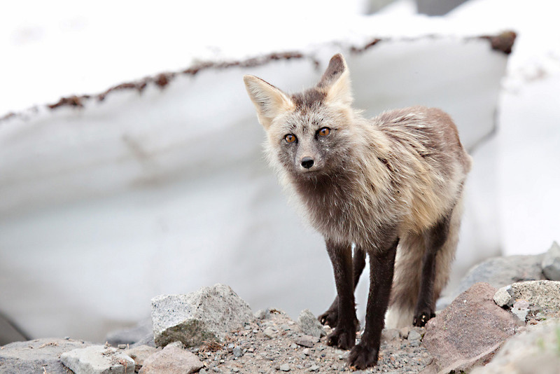 """This is a red fox transitioning from a dark morph to a lighter morph seen near paradise in Mt. Rainier National Park  <div class=""""ss-paypal-button""""><br><form target=""""paypal"""" action=""""https://www.paypal.com/cgi-bin/webscr"""" method=""""post"""" ><input type=""""hidden"""" name=""""cmd"""" value=""""_cart""""><input type=""""hidden"""" name=""""business"""" value=""""947PXEXBHP9H8""""><input type=""""hidden"""" name=""""lc"""" value=""""US""""><input type=""""hidden"""" name=""""item_name"""" value=""""This is a red fox transitioning from a dark morph to a lighter morph seen near paradise in Mt. Rainier National Park""""><input type=""""hidden"""" name=""""item_number"""" value=""""http:&#x2F;&#x2F;www.werthwildphotography.com&#x2F;Animals&#x2F;Mammals&#x2F;Foxes-and-Coyotes&#x2F;i-tnq6H2Q""""><input type=""""hidden"""" name=""""button_subtype"""" value=""""products""""><input type=""""hidden"""" name=""""no_note"""" value=""""0""""><input type=""""hidden"""" name=""""cn"""" value=""""Add special instructions to the seller:""""><input type=""""hidden"""" name=""""no_shipping"""" value=""""2""""><input type=""""hidden"""" name=""""currency_code"""" value=""""USD""""><input type=""""hidden"""" name=""""shipping"""" value=""""4.00""""><input type=""""hidden"""" name=""""add"""" value=""""1""""><input type=""""hidden"""" name=""""bn"""" value=""""PP-ShopCartBF:btn_cart_LG.gif:NonHosted""""><table class=""""printSize""""><tr><td><input type=""""hidden"""" name=""""on0"""" value=""""Print size"""">Print size</td></tr><tr><td><select name=""""os0""""> <option value=""""5 x 7"""">5 x 7 $14.00 USD</option> <option value=""""8 x 10"""">8 x 10 $20.00 USD</option> <option value=""""8 x 12"""">8 x 12 $20.00 USD</option> <option value=""""11 x 14"""">11 x 14 $28.00 USD</option> <option value=""""12 x 18"""">12 x 18 $35.00 USD</option> <option value=""""16 x 20"""">16 x 20 $50.00 USD</option></select> </td></tr></table><input type=""""hidden"""" name=""""currency_code"""" value=""""USD""""><input type=""""hidden"""" name=""""option_select0"""" value=""""5 x 7""""><input type=""""hidden"""" name=""""option_amount0"""" value=""""14.00""""><input type=""""hidden"""" name=""""option_select1"""" value=""""8 x 10""""><input type=""""hidden"""" name=""""option_amount1"""" value=""""20.00""""><input type=""""hidden"""" name=""""option_select2"""" value=""""8 x 12""""><input type=""""hidden"""" name=""""optio"""
