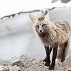 "This is a red fox transitioning from a dark morph to a lighter morph seen near paradise in Mt. Rainier National Park  <div class=""ss-paypal-button""><br><form target=""paypal"" action=""https://www.paypal.com/cgi-bin/webscr"" method=""post"" ><input type=""hidden"" name=""cmd"" value=""_cart""><input type=""hidden"" name=""business"" value=""947PXEXBHP9H8""><input type=""hidden"" name=""lc"" value=""US""><input type=""hidden"" name=""item_name"" value=""This is a red fox transitioning from a dark morph to a lighter morph seen near paradise in Mt. Rainier National Park""><input type=""hidden"" name=""item_number"" value=""http:&#x2F;&#x2F;www.werthwildphotography.com&#x2F;Animals&#x2F;Mammals&#x2F;Foxes-and-Coyotes&#x2F;i-tnq6H2Q""><input type=""hidden"" name=""button_subtype"" value=""products""><input type=""hidden"" name=""no_note"" value=""0""><input type=""hidden"" name=""cn"" value=""Add special instructions to the seller:""><input type=""hidden"" name=""no_shipping"" value=""2""><input type=""hidden"" name=""currency_code"" value=""USD""><input type=""hidden"" name=""shipping"" value=""4.00""><input type=""hidden"" name=""add"" value=""1""><input type=""hidden"" name=""bn"" value=""PP-ShopCartBF:btn_cart_LG.gif:NonHosted""><table class=""printSize""><tr><td><input type=""hidden"" name=""on0"" value=""Print size"">Print size</td></tr><tr><td><select name=""os0""> <option value=""5 x 7"">5 x 7 $14.00 USD</option> <option value=""8 x 10"">8 x 10 $20.00 USD</option> <option value=""8 x 12"">8 x 12 $20.00 USD</option> <option value=""11 x 14"">11 x 14 $28.00 USD</option> <option value=""12 x 18"">12 x 18 $35.00 USD</option> <option value=""16 x 20"">16 x 20 $50.00 USD</option></select> </td></tr></table><input type=""hidden"" name=""currency_code"" value=""USD""><input type=""hidden"" name=""option_select0"" value=""5 x 7""><input type=""hidden"" name=""option_amount0"" value=""14.00""><input type=""hidden"" name=""option_select1"" value=""8 x 10""><input type=""hidden"" name=""option_amount1"" value=""20.00""><input type=""hidden"" name=""option_select2"" value=""8 x 12""><input type=""hidden"" name=""option_amount2"" value=""20.00""><input type=""hidden"" name=""option_select3"" value=""11 x 14""><input type=""hidden"" name=""option_amount3"" value=""28.00""><input type=""hidden"" name=""option_select4"" value=""12 x 18""><input type=""hidden"" name=""option_amount4"" value=""35.00""><input type=""hidden"" name=""option_select5"" value=""16 x 20""><input type=""hidden"" name=""option_amount5"" value=""50.00""><input type=""hidden"" name=""option_index"" value=""0""><input type=""image"" src=""https://www.paypalobjects.com/en_US/i/btn/btn_cart_LG.gif"" border=""0"" name=""submit"" alt=""PayPal - The safer, easier way to pay online!"" class=""btnPayPal""><img alt="""" border=""0"" src=""https://www.paypalobjects.com/en_US/i/scr/pixel.gif"" width=""1"" height=""1""></form></div><div class=""ss-paypal-button-end"" style=""display:none""></div>"