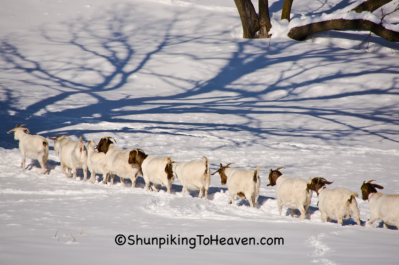 "Goats Playing ""Follow the Leader,"" Vernon County, Wisconsin"