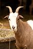 Goat at Five Oaks Farm, Dane County, Wisconsin