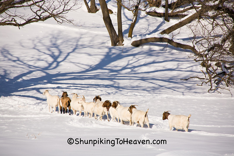 """Goats Playing """"Follow the Leader,"""" Vernon County, Wisconsin"""