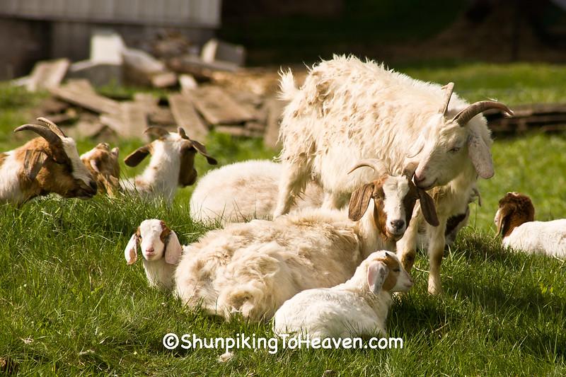 "Goat ""Family Portrait"", Sauk County, Wisconsin"