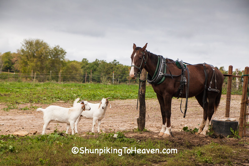Horse and Goats on Amish Farm, Columbia County, Wisconsin