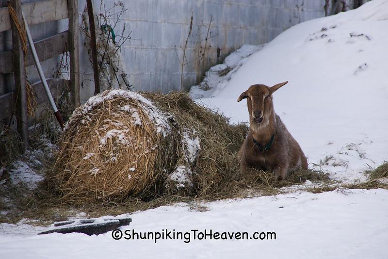 Goat by Hayroll, Sauk County, Wisconsin