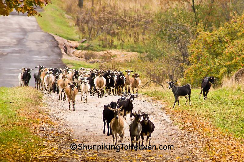 Calling the Goats Home, Sauk County, Wisconsin