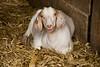 Goat in the Barn, Jones County, Iowa