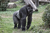 Gorilla. Standing on all fours in field of grass with logs in the background.