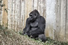 Gorilla. Setting down against a wooden fence.