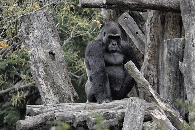 Gorilla. Sittin on logs and mostly facing the camera.