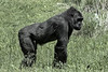 Gorilla. Full body shot and standing on all fours in field of grass