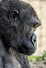 Gorilla. Closeup of face and facing right.