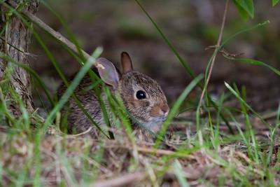 Hares, Rabbits and Pikas