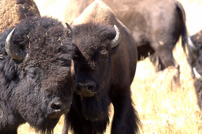 Buffalo mother and offspring, seen on a bright sunny day in Yellowstone National Park, 2009.  Print size 5 x 7 $14.00 USD 8 x 10 $20.00 USD 8 x 12 $20.00 USD 11 x 14 $28.00 USD 12 x 18 $35.00 USD 16 x 20 $50.00 USD