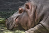Hippopotamus. Lying down. facing left partial body. head. asleep.