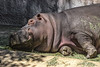 Hippopotamus. Lying down. facing left partial body. head. asleep. wall in background.