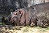 hippopotamus; amphibius; hippo; herbivorous; semiaquatic; Hippopotamidae; river; horse; artiodacty; ungulates; barrel-shaped; dangerous; animal; aggressive; unpredictable; threatened; habitat; mammal; fat; massive; beast; large; imposing; danger;asleep;lying down; down; partial body; wall; facing left; left; closeup; close-up
