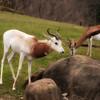 Dama Gazelle