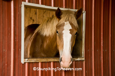 Rose, the Belgian Horse, Fiddelke Farm, Delaware County, Iowa