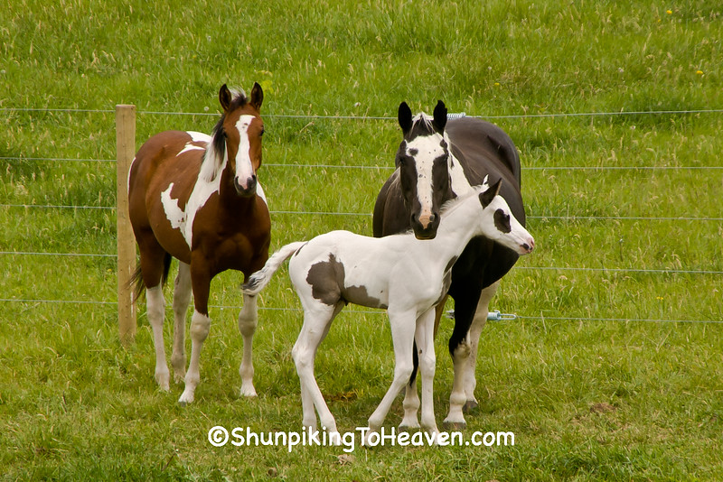 Horses with Foal, Green County, Wisconsin