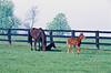 Horses in Pasture, Scott County, Kentucky