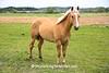 Palomino Horse, Sauk County, Wisconsin