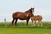 Belgian Horse with Foal, Green Lake County, Wisconsin
