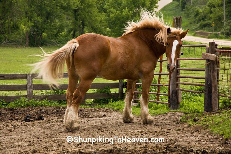 Belgian Horse, Cedar County, Iowa