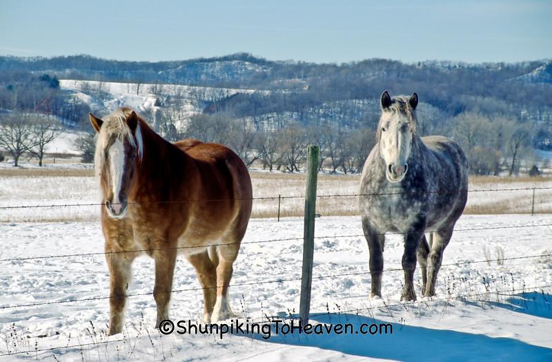 Horses on Sunny Winter Day, La Crosse County, Wisconsin