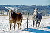 Horses on Sunny Winter Day, La Crosse County, Wisconsin