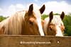 Belgian Horses, Cedar County, Iowa