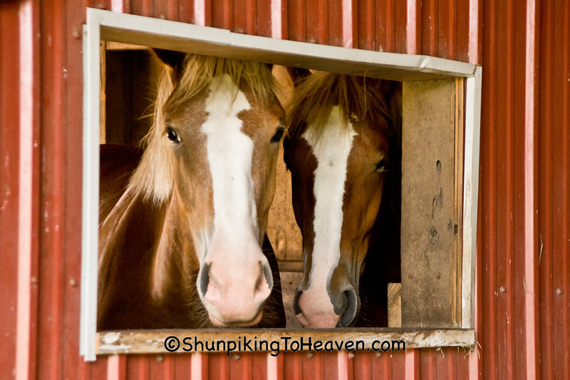 Rose and Callie, Belgian Horses, Fiddelke Farm, Delaware County, Iowa