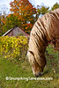Belgian Horse in Autumn, Monroe County, Wisconsin