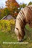 Belgian Horse in Autumn, Monroe County, Wisconsin