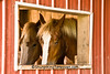 Rose and Callie, Belgian Horses, Fiddelke Farm, Delaware County, Iowa