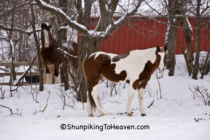 Horses in the Snow, Dane County, Wisconsin