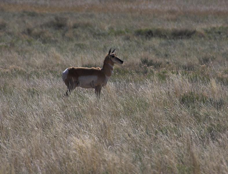 Pronghorn Antelope 0001