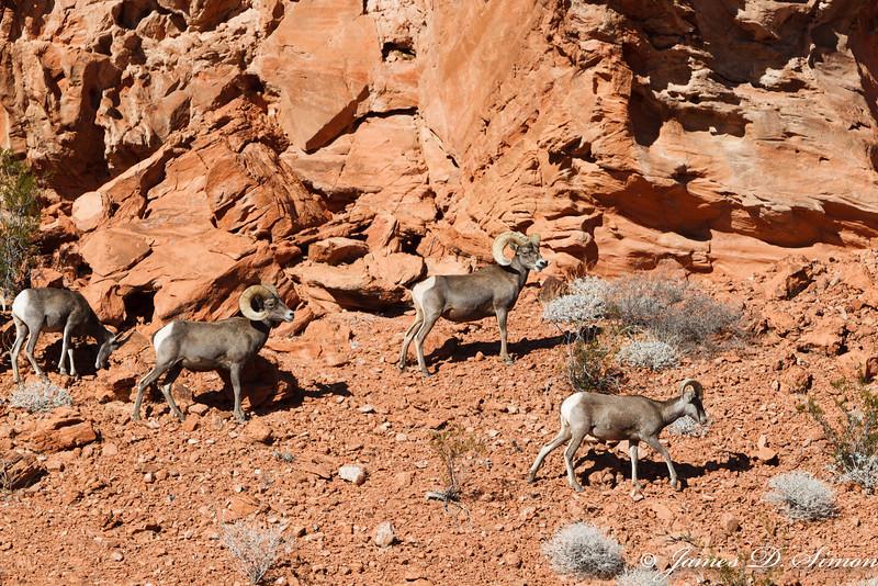 Desert Big Horn Sheep, Valley of Fire State Park NV-4875