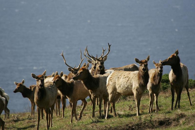 Tule Elk at Pt Reyes