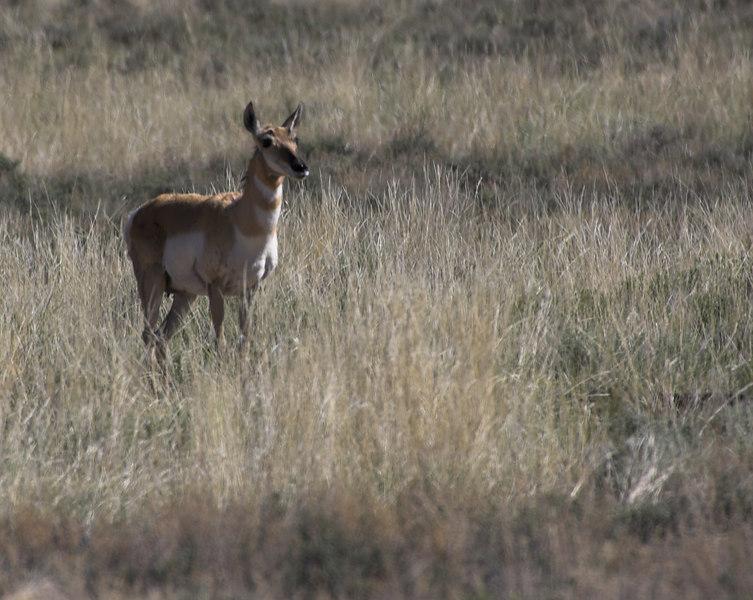 Pronghorn Antelope 0003