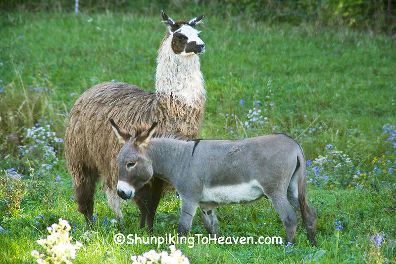 Llama and Donkey, Monroe County, Wisconsin
