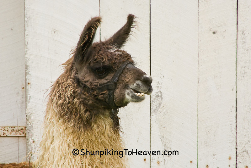 Llama Relaxing in the Barnyard, Coshocton County, Ohio