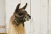 Llama Relaxing in the Barnyard, Coshocton County, Ohio