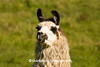 Curious Llama, Monroe County, Wisconsin