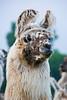 Llama, Dane County, Wisconsin